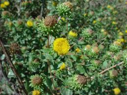 native plants of new mexico vascular plants of the gila wilderness grindelia squarrosa