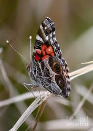virginia butterfly side view photograph by carol groenen