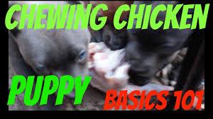 eating raw chicken pups shepherd puppies feeding dog food diet