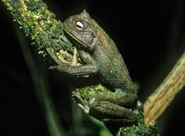 frogs evolve teeth u2014again