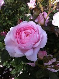 D Roses David Austin English Roses U2013 Northland Rosarium