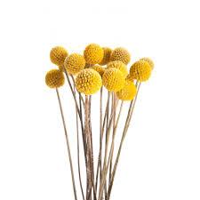 billy balls yellow billy balls craspedia flower muse