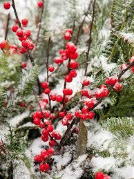 shrubs with winter interest