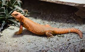 Spiny-tailed lizards