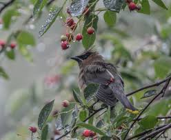 the world u0027s best photos of birds and serviceberry flickr hive mind