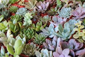 bulk wedding favors 2 assorted succulent succulents for sale bulk succulent wedding