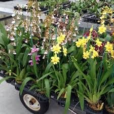 orchid plants open bloom orchids assorted akatsuka orchid gardens