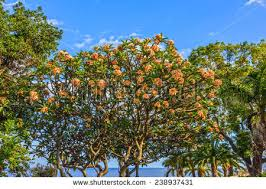 Madeira Flowers - plumeria tree flowers madeira portugal stock photo 238937431