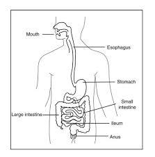 digestive system read biology ck 12 foundation
