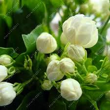 Fragrant Jasmine Plant - 10pcs bag jasmine seeds geranium seed molly bonsai flower seeds