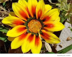 The Spain Flag Flowers Spanish Flower Stock Picture I1144233 At Featurepics