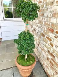 Eugenia Topiary Freshen Up Your Decor With Indoor Topiaries Myrtle Lemon Cypress