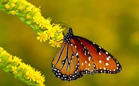 flowers macro butterfly nature hq wallpaper monarch butterflies on