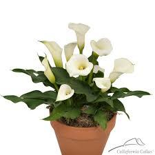 white calla dancer calla bulbs for sale white calla plant
