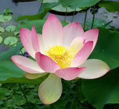 australian native aquatic plants nelumbo nucifera wikipedia