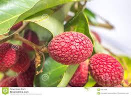 fruit similar to lychee nephelium hypoleucum kurz korlan fruit a relative of lichy stock
