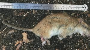 oh rats more green bay neighborhoods report problems