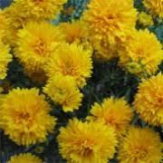 Yellow Pom Pom Flowers - coreopsis u0027golden pom pom u0027 tickseed care plant varieties u0026 pruning
