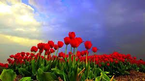 flowers tulips flowers flower field tulip fields best wallpaper