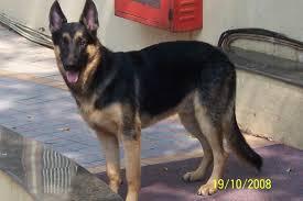 belgian shepherd size german shepherd dog picture 4672 pet gallery petpeoplesplace com