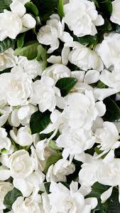 458 best gardenia images on pinterest gardenias flowers and