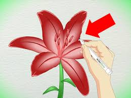 3 ways to draw a lily wikihow