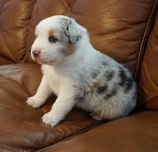 australian shepherd x puppies for sale puppies mountain wrangler aussies australian shepherd puppies