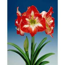 free shipping amaryllis flower bulbs garden plants flowers