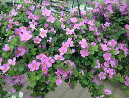 hanging basket plants for sun poyntons nursery and garden centre plants cottage