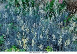 blue fescue festuca glauca stock photos blue fescue festuca