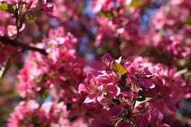 pink flower tree file pink flowers tree west virginia forestwander jpg