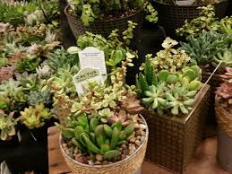 King Soopers Patio Furniture by A Succulent Display At King Soopers Great Grouping And Container