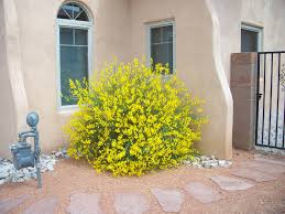 native plants of spain trees that please nursery spanish broom