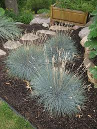 blue fescue festuca rotary botanical gardens