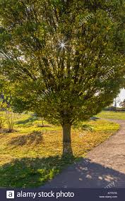 ornamental tree backlit by early morning sun stock photo royalty