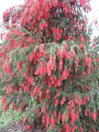 plant guide callistemon viminalis