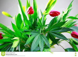 cannabis flower royalty free stock photos image 34000498