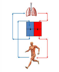 a and p anatomy gallery learn human anatomy image