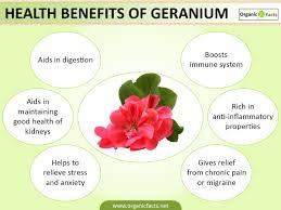 Geranium by 6 Amazing Benefits Of Geranium Organic Facts
