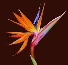 birds of paradise flower bird of paradise flower strelitzia it belongs to the plant