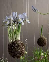 12 best knautia scabious images on pinterest cut flowers