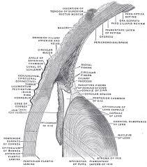 Surface Anatomy Eye Conjunctiva Wikipedia