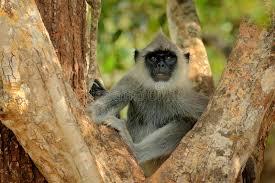 si e habitat entello entellus di semnopithecus scimmia che si siede nell erba