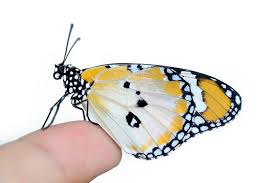 butterfly on finger stock image image of insect renewal 21957999