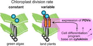 the plastid division1 and 2 components of the chloroplast division