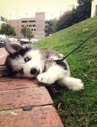 australian shepherd husky puppy australian shepherd only the cutest puppy ever u2026 pinteres u2026