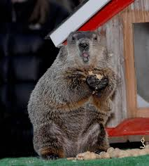 groundhog origins facts punxsutawney phil