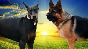 belgian sheepdog german shepherd mix doberman vs german shepherd dog highlights youtube