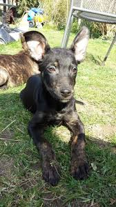 belgian shepherd x rottweiler pip u2013 13 week old female belgian shepherd cross lurcher dog for