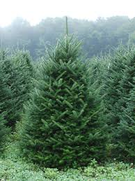 fraser fir tree pictures of carolina fraser fir christmas trees